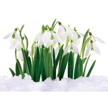 Snowdrops Christmas Card (English & Welsh)