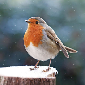 Robin Red Breast Christmas Card (English & Welsh)