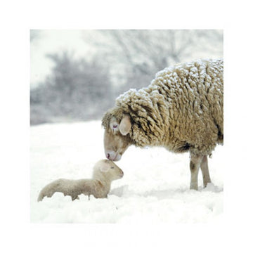 Ewe and lamb Christmas Card (English & Welsh)