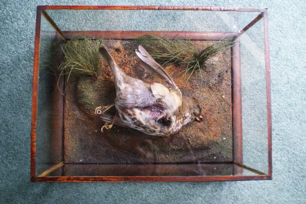 taxidermy thrush in glass case, The Thrush, Being the only fatality in the raid of World War 1