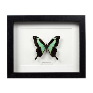 Apple-green Swallowtail Butterfly in Box Frame (Papilio phorcas) - SALE - The Weird & Wonderful