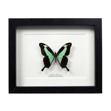 Apple-green Swallowtail Butterfly in Box Frame (Papilio phorcas) - The Weird & Wonderful