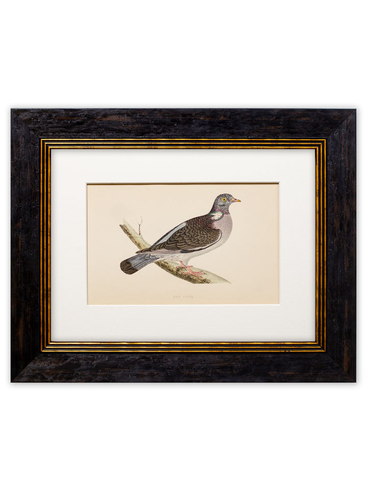c.1870 Rev. Morris - Wood Pigeon - Framed Print