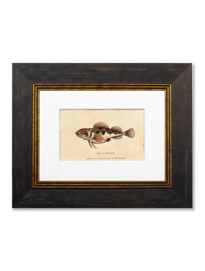 c.1799 - George Edwards - Sea Scorpion - Framed Print