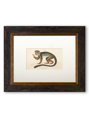 c.1835 William Jardine - Common Squirrel Monkey