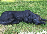 Black Labrador large 44cm realistic indoor outdoor garden ornament memorial
