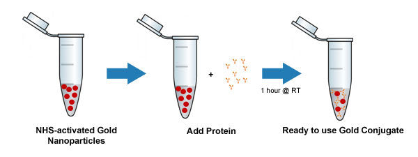 NHS-Activated Gold Nanoparticles Conjugation