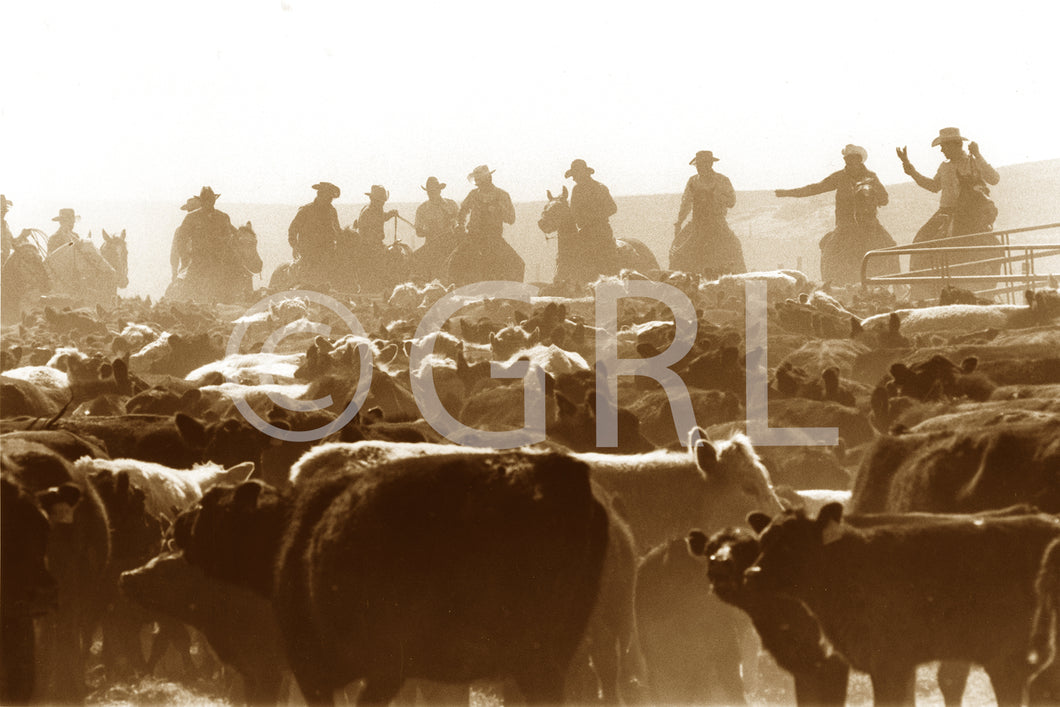 Dusty Trail Cattle Round Up Photo by George Lindblade Wall Art