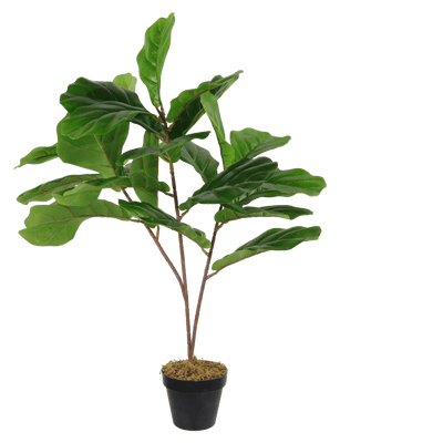 Fiddle Leaf Fig 80cm
