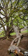"Metal Print: ""Ancient Oak"""
