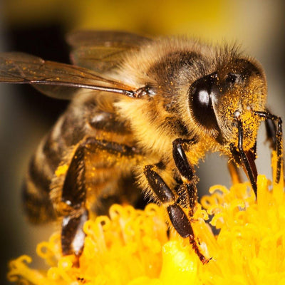 Bee Pollen – Are There Health Benefits?