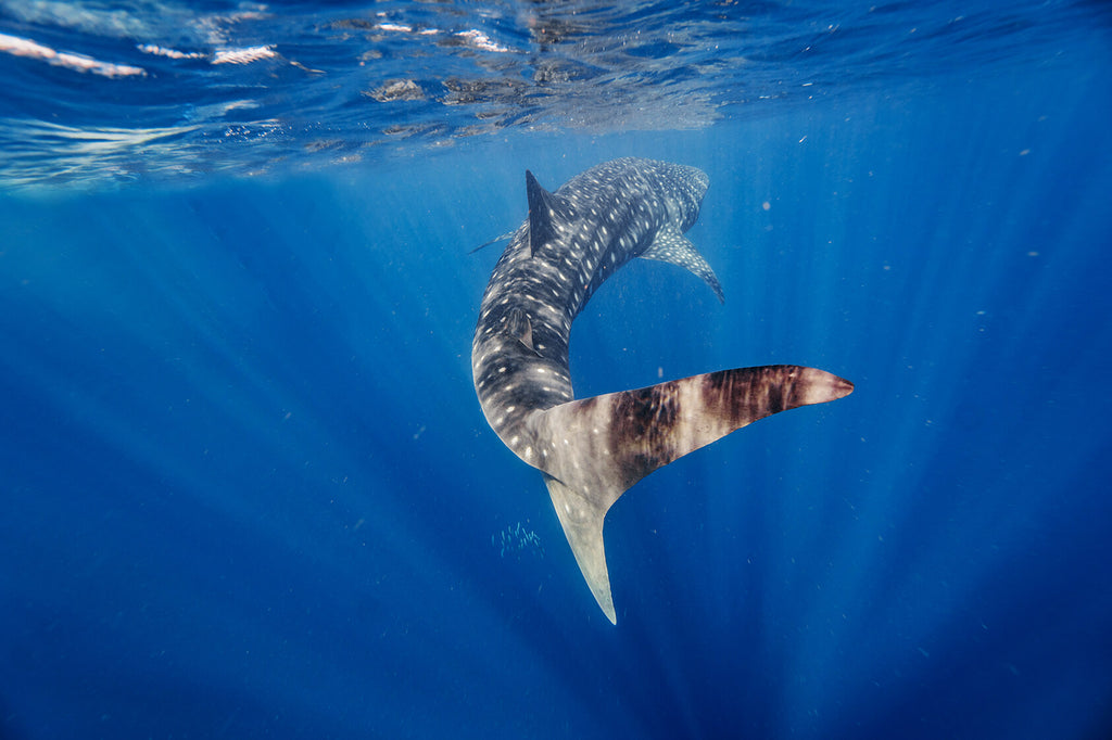 back view of whale shark in ningaloo