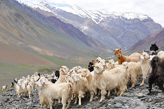 why is cashmere so expensive blog kashmir goats in himalaya by seahorse silks