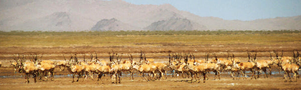 herd of shahtoosh antelope blog by seahorse silks