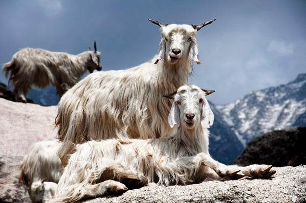 why is cashmere so expensive blog kashmir goats by seahorse silks
