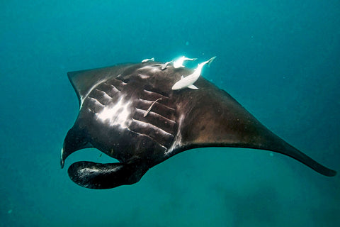 black manta ray at coral bay
