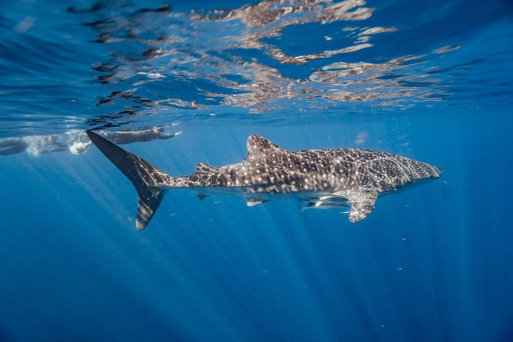 swimming with a whale shark at ningaloo