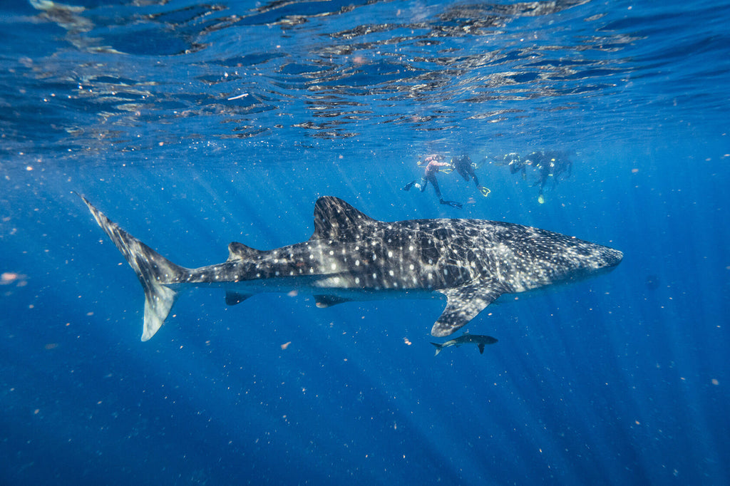 whale shark spotted at ningaloo