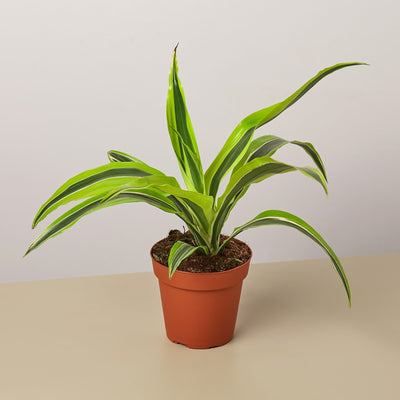"Dracaena Deremensis 'Lemon Surprise' - 4"" Pot- The Foxtrot Clothing - The Foxtrot Clothing"