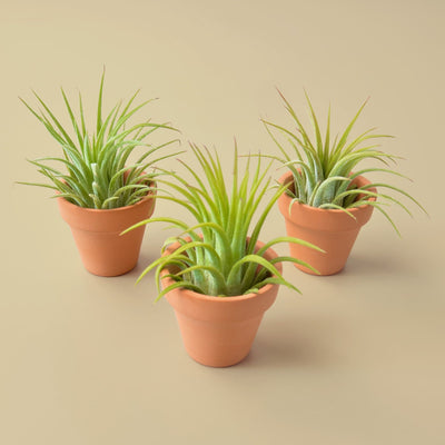 3 Ionantha Air Plants with Mini Terra Cotta Pots- The Foxtrot Clothing - The Foxtrot Clothing