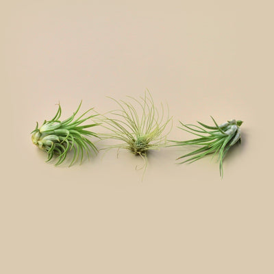 3 Small Tillandsia Air Plant Pack- The Foxtrot Clothing - The Foxtrot Clothing