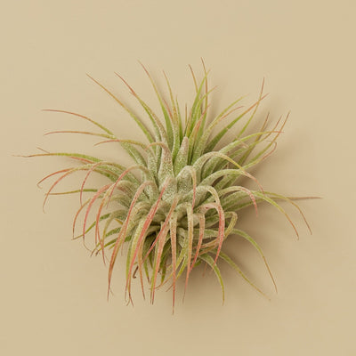 3 Ionantha Guatemala Air Plants - 2 Inch- The Foxtrot Clothing - The Foxtrot Clothing