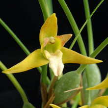 Load image into Gallery viewer, Maxillaria tenuifolia aurea