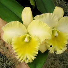Load image into Gallery viewer, Blc. South Island 'Chiffon'