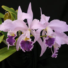 Load image into Gallery viewer, Cattleya labiata coerulea