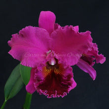 Load image into Gallery viewer, Blc. Lynn Spooner 'Mendenhall' x Blc. Michael Crocker 'Mendenhall'