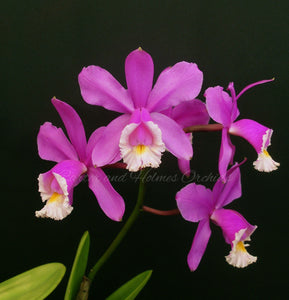 Cattleya harrisoniae 'Homestead' x Cattleya harrisoniae