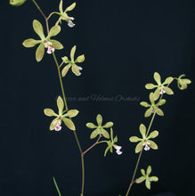 Load image into Gallery viewer, Encyclia Newberry Tuity Fruity