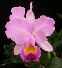 Load image into Gallery viewer, Cattleya Madonna 'Mendenhall'