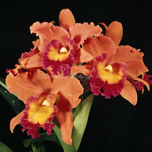 Load image into Gallery viewer, Pot. Waikiki Splendor 'Lenette' x Blc. Chia Lin 'Super Gold' FCC/AOS