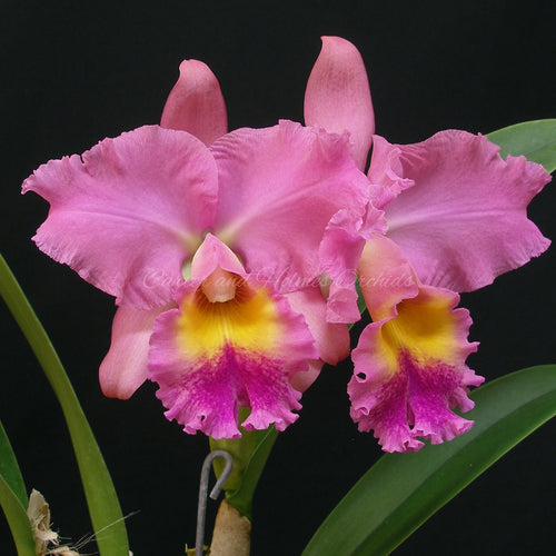 Blc. Misty Girl 'Royal Queen'