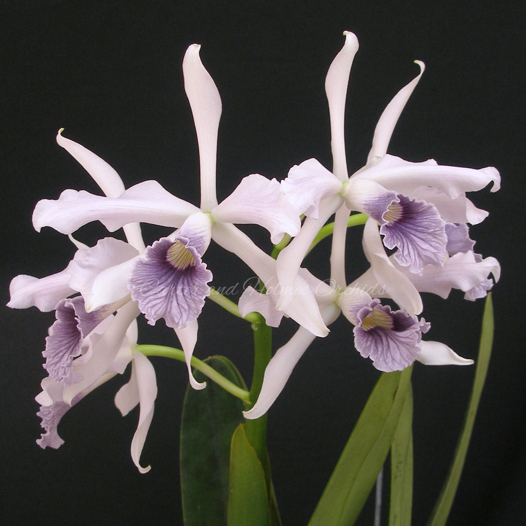Laelia purpurata coerulea 'Sweet Twilight' x self
