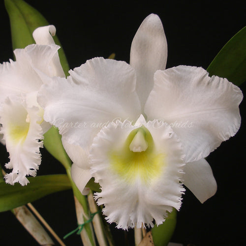 Cattleya Johnette Bowers 'Madonna' x Bc. Pastoral 'Innocence' FCC/AOS