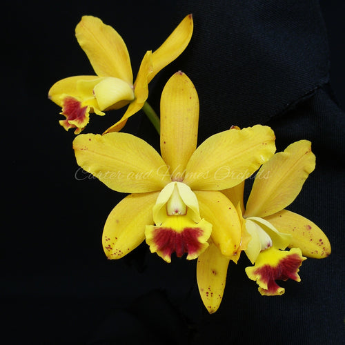 Lc. Jungle Elf 'Carmela'  x Lc. Sarah Elizabeth '#2'