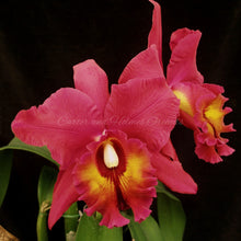 Load image into Gallery viewer, Lc. Bingham Vick 'Velvet' x Blc. Owen Holmes 'Firecup'