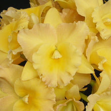 Load image into Gallery viewer, Pot. Susan Fender 'Newberry' x Blc. Miami Gold 'Mendenhall'