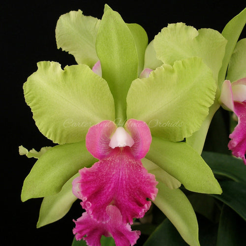 Blc. Kitty Mattheny 'Lenette' x Blc. Memoria Helen Brown 'Sweet Afton' AM/AOS