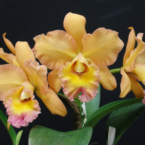 Blc. Waianae King 'Kosaki'  x Blc. Waianae King 'Orchidheights' AM/AOS *Bare-Root*