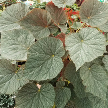 Load image into Gallery viewer, Begonia 'U484'  *New Species*