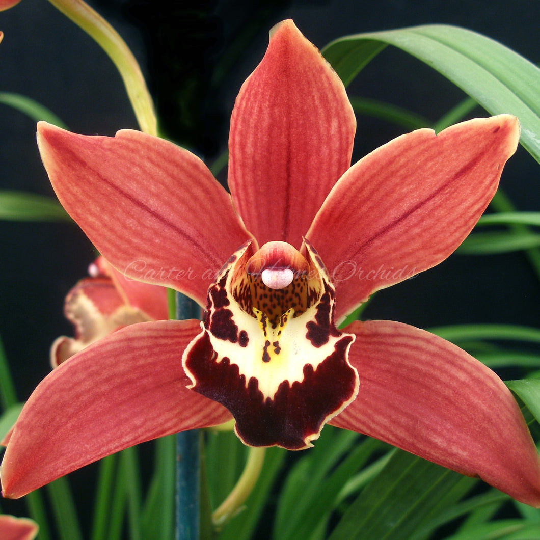 Cymbidium Jungle King 'Red Rooster' HCC/AOS