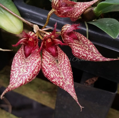 Bulbophyllum Crown Point - *On Mounts*