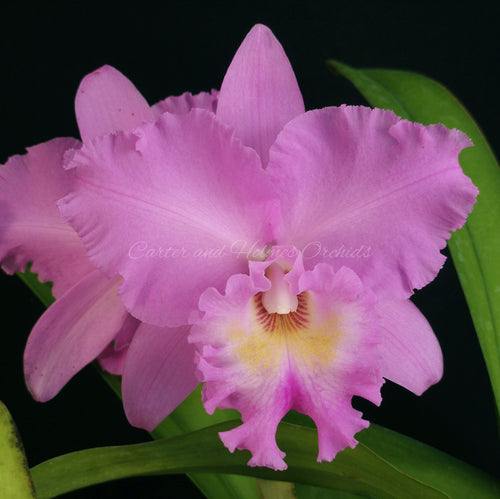 Bc. Joe Volpe 'Pink Masterpiece' x Bc. Peggy Forbis 'Pink #9'  *New Release*