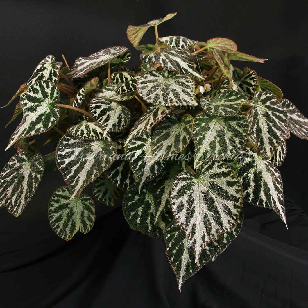 Begonia 'Emerald Jewel'