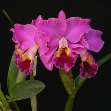 Load image into Gallery viewer, Blc. (Eagle Island x Horace)