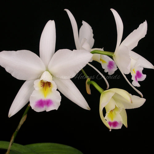 Lc. Newberry Ice and Fire 'Summer Song' x Lc. Kiritsubo 'Southern Stars'