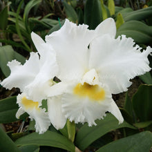 Load image into Gallery viewer, Cattleya Johnette Bowers 'Madonna' x Bc. Pastoral 'Innocence' FCC/AOS